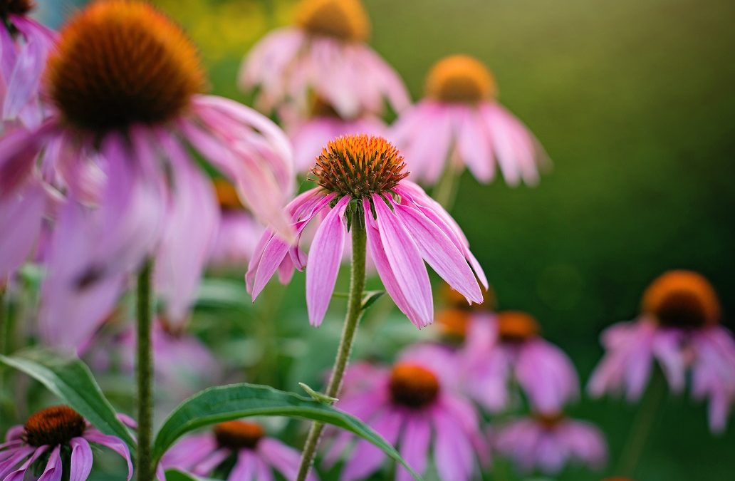 Wunder der Natur: Echinacea -> Sonnenhut